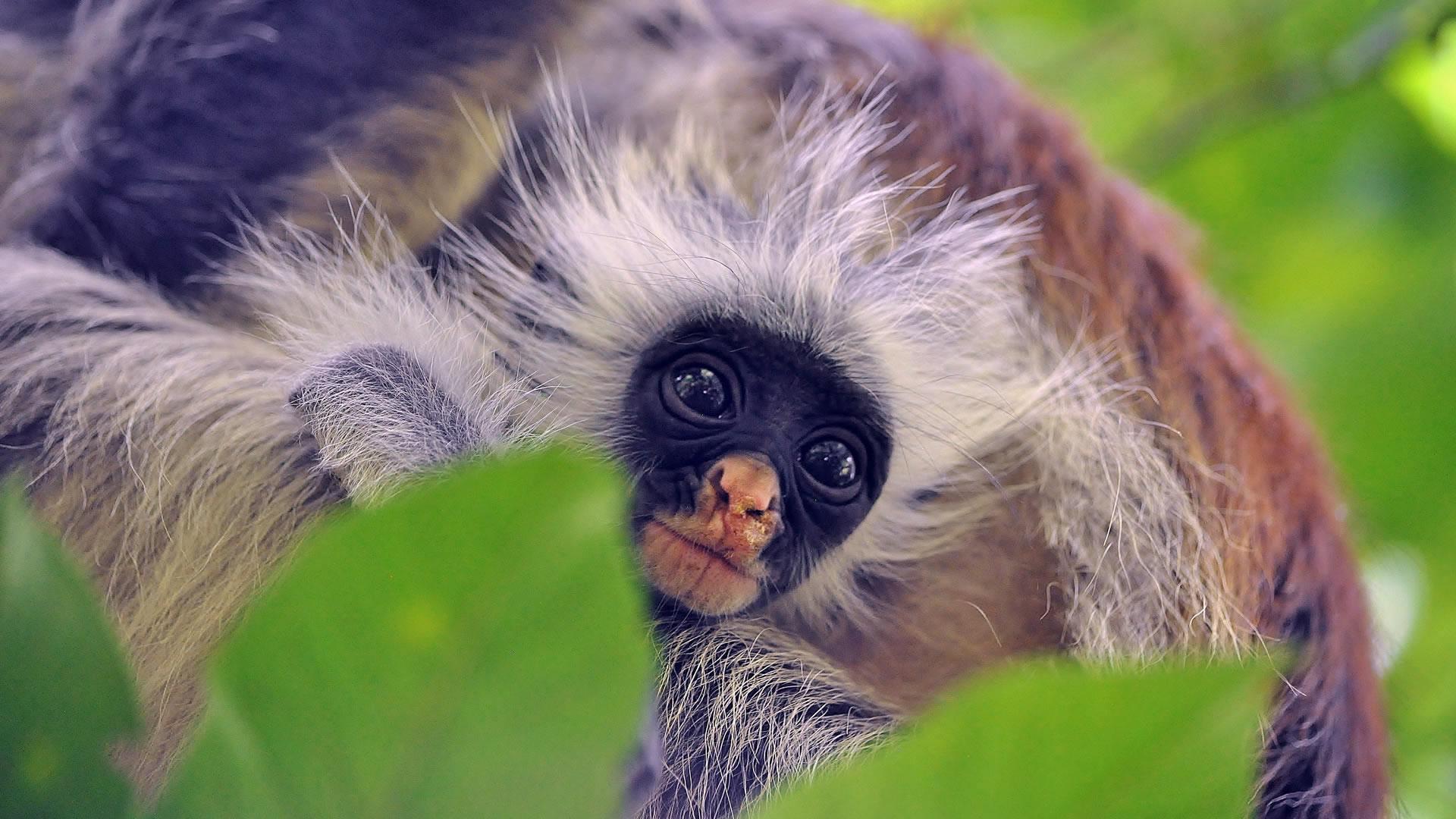 opice na Zanzibaru