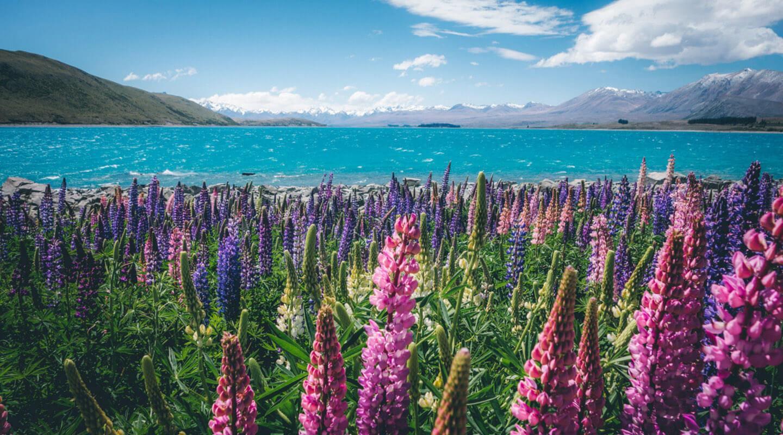 New-Zealand-louka
